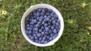 Clyde River blueberries